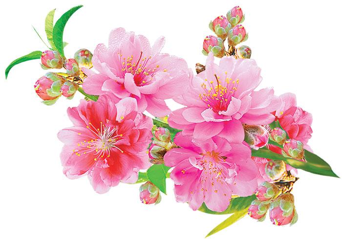 hoa đào vector