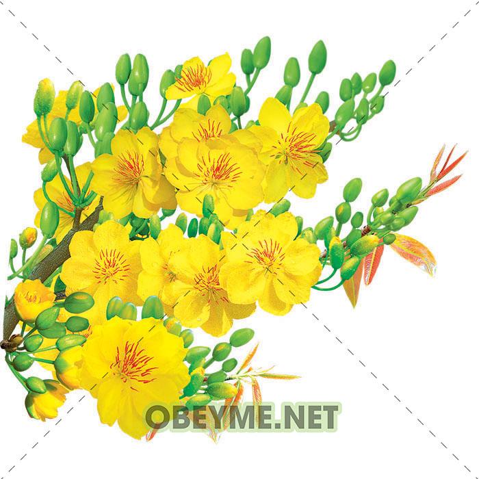 Vector hoa mai, hình ảnh cành mai đẹp